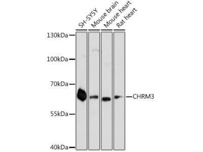 CHRM3 Polyclonal Antibody