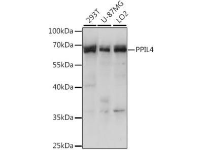 PPIL4 Polyclonal Antibody