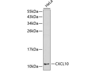 CXCL10 Polyclonal Antibody
