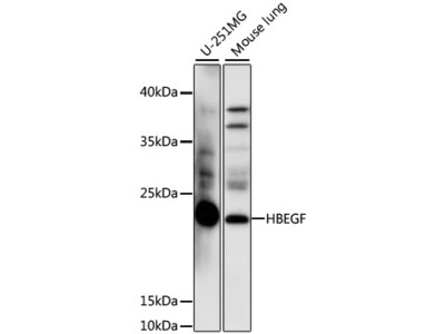 HBEGF Polyclonal Antibody