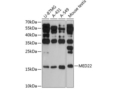 MED22 Polyclonal Antibody