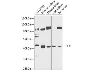 PLAU Polyclonal Antibody