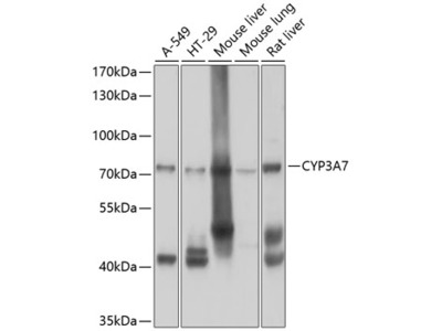 CYP3A7 Polyclonal Antibody