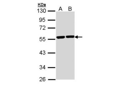 Tubulin alpha-8 Antibody