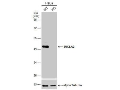 SUCLA2 Antibody