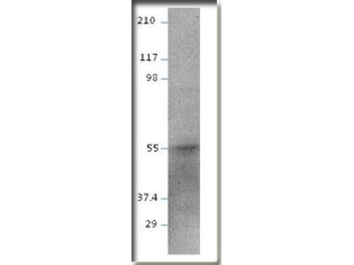 anti E2F2 (73-99)