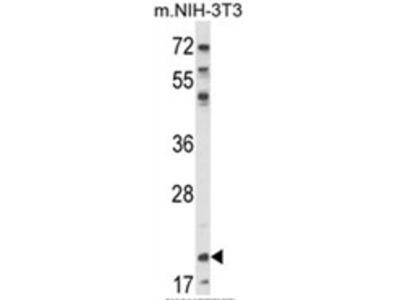 anti NIP7 (C-term)