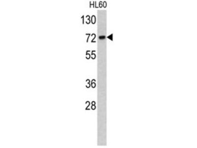 anti TOMM70A (C-term)