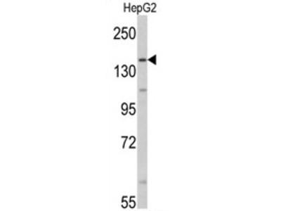 anti Aldehyde oxidase