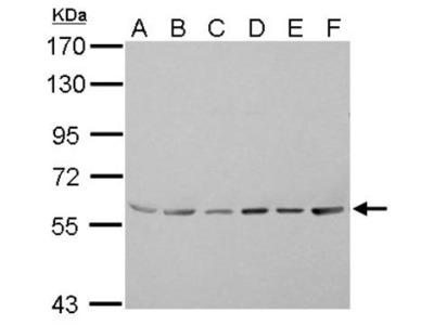 ASC1 Antibody