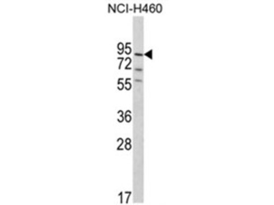 MyoGEF (PLEKHG6) (N-term) rabbit polyclonal antibody