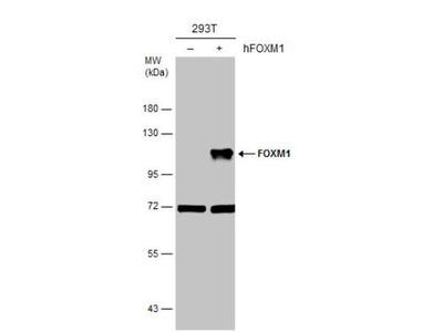 FoxM1 Antibody
