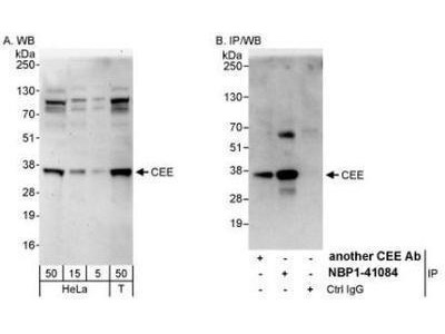 GET4 Antibody