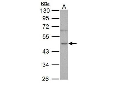 Nova1 Antibody