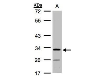 C4orf19 Antibody