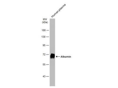 Albumin Antibody