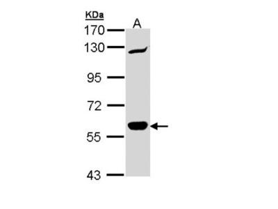 CARD9 Antibody
