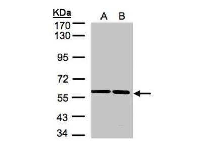 Rabbit Polyclonal SRPR alpha Antibody