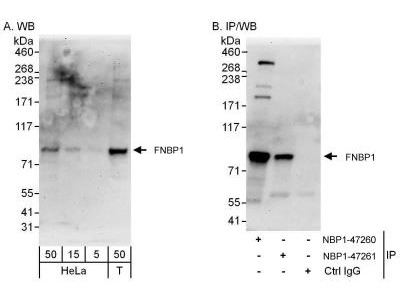 FNBP1 Antibody