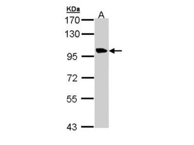 Meckelin Antibody