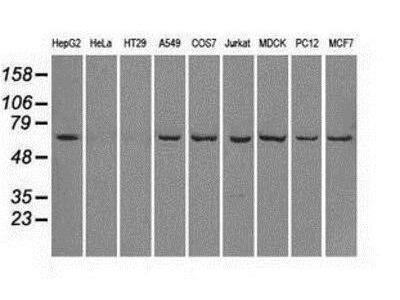Mouse Monoclonal Leukotriene A4 Hydrolase / LTA4H Antibody