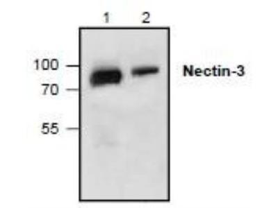 Rabbit Polyclonal Nectin-3 / PVRL3 Antibody