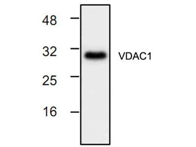Rabbit Polyclonal VDAC1 Antibody