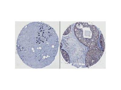 HEF1 Antibody [2G9]