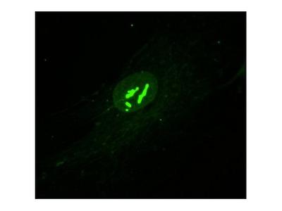 Nesprin 1 Antibody