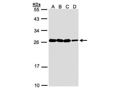 HN1 / ARM2 Antibody