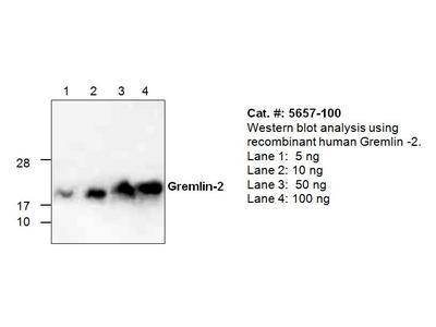 Gremlin-2 Antibody
