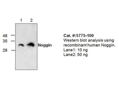 Noggin Antibody
