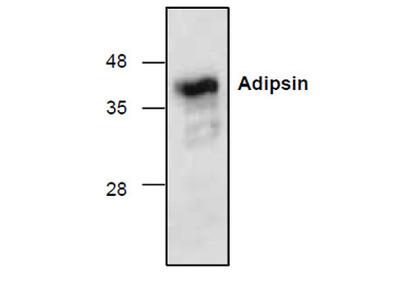 Adipsin Antibody