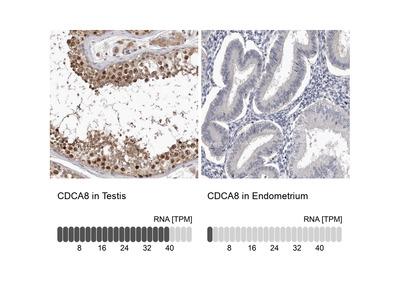 Anti-CDCA8 Antibody
