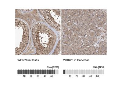 Anti-WDR26 Antibody