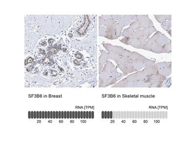Anti-SF3B6 Antibody