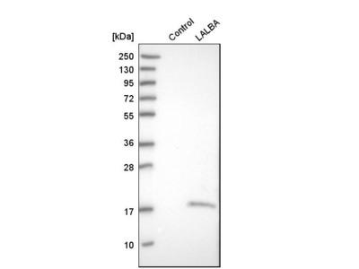 Anti-LALBA Antibody