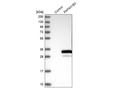 Anti-PAFAH1B3 Antibody