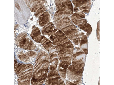 Anti-COX15 Antibody