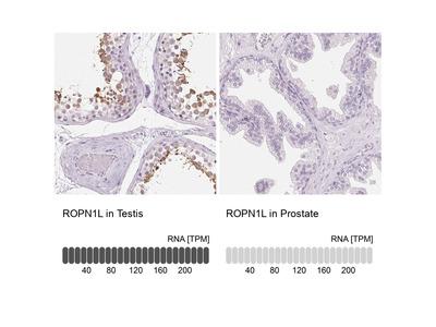 Anti-ROPN1L Antibody