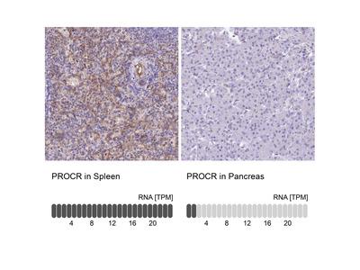Anti-PROCR Antibody