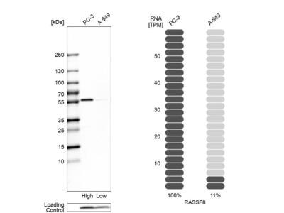 Anti-RASSF8 Antibody