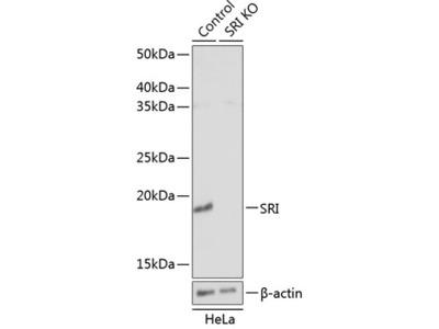 SRI Polyclonal Antibody