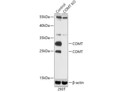 COMT Polyclonal Antibody