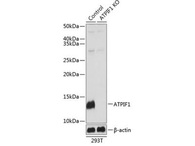 ATPIF1 Polyclonal Antibody