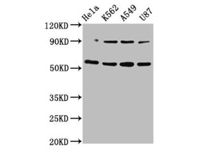 TOX Polyclonal Antibody