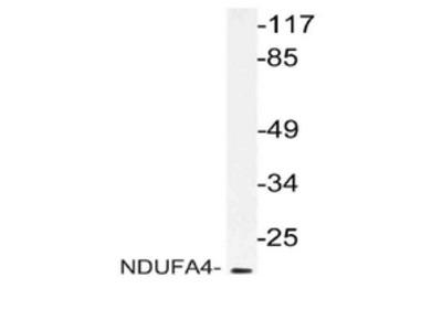 anti NDUFA4