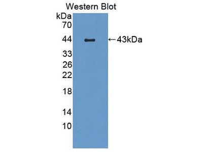 CCL19 / MIP3-Beta Antibody