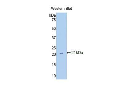 Cxcl15 Antibody