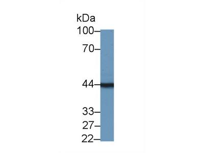 TMOD3 / Tropomodulin 3 Antibody